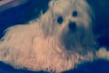 My Zenike's smiling again / My Maltese puppy, Zenike
