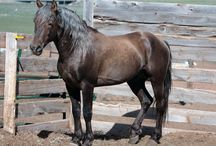 Sooty - Dark legs / This type of sooty patterning features a concentration of the dark hairs on the legs on what are genetically red horses. As a result they tend to be mistaken for bay or buckskin silvers.