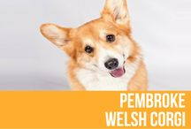 Pembroke Welsh Corgi / Low-set, strong and sturdily built, the Pembroke Welsh Corgi gives an impression of substance in a small space. He's one of the most agreeable small house dogs, & an avid competitor in many dog sports, including conformation, herding and obedience. The Pembroke Corgi possesses a shorter body and straighter, lighter boned legs than the Cardigan Corgi. His ears are pointed at the tip and stand erect, and he has a short tail.