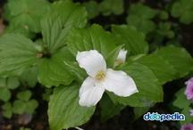coolplants : Trillium