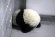 I <3 Pandas! / by Katie Knapp