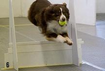 Flyball / http://en.wikipedia.org/wiki/Flyball / by Esther Piekaar