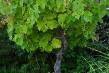 Grapes / by gardenlady