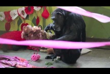 Celebrations / The chimpanzees at Chimpanzee Sanctuary Northwest love parties.