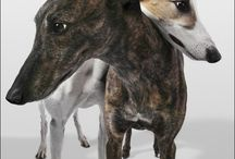 Greyhounds,WANT ONE! / by Cheryl Lans