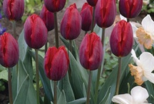 GARDEN: TULIPS / The glory of gardening: hands in the dirt, head in the sun, heart with nature. To nurture a garden is to feed not just on the body, but the soul. Alfred Austin