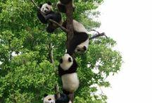 Pandaas