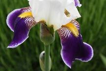Irises / Tall bearded iris (Iris germanica), Siberian iris (Iris sibirica), Crested iris (Iris cristata), dwarf bearded iris (Iris pumila), Japanese iris (Iris ensata)