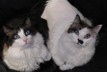We love our Ragdoll Cats! / Pics and pins of *YOUR* Ragdoll Cats. NOT stock photos or other's people cats- YOUR Ragdoll cats (purebred and wannabes). Please limit and space out your pins as to not overwhelm the other pinners. Breeders this is not a place to post all your Raggies for sale. Also remember YOUR cat pics only. If you've posted pics of cats other than your own please remove them. Thank you, oh, and feel free to invite other Raggie parents