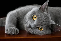 Races de chat - Cat Breed