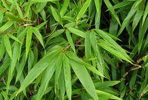 Beplanting: bamboe