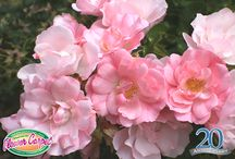 """My Favorite Rose Contest /  Help us celebrate the 20th anniversary of Flower Carpet rose's introduction to American gardeners and enter a chance to win a Gardener's Supply Gift Card!    Simply Pin your favorite photo from this """"My Favorite Rose"""" board and email us atgoodgardening@youreasygarden.com to confirm your entry. For more details go to: http://youreasygarden.com/garden-gift-card-giveaway/ """