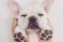 Fluffy French Bulldogs / All kinds of Frenchies !