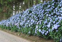 Flowerpower - Hortensien