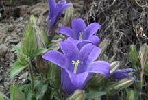 GREEK FLOWERS / FLOWERS FROM THE LAND OE GODS