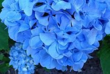 CHANGING SHADE OF COLOUR RE; HYDRANGEAS