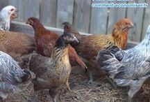 poulailler nourriture poules économiques
