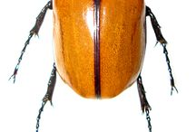 Beetle insects