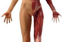 Anatomy / Anatomy for sculpt
