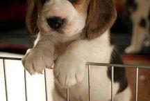Beagles / by Tamara Pensa