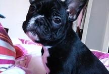 French Bulldog / frenchie love