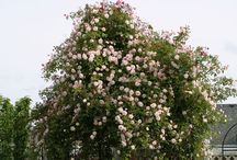 """Climbing Roses / This board is a companion to the """"Climbing Roses"""" article in our magazine, in The American Gardener, May/June 2017 issue http://www.ahsgardening.org/gardening-resources/gardening-publications/the-american-gardener/may-june-2017."""