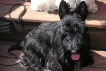 Pets - Scottish Terrier