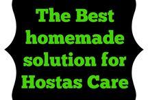 Care of Hostas