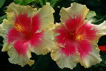Hibiscus = Гибискус