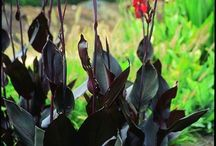 2015 PDN Canna / lant Delights is pleased to offer some unique canna lilies for sale that provide beautiful flower color, dazzling foliage color, or both. Cannas are bold perennials that pair well with finer-textured plants such as amsonia, hemerocallis, iris, kniphofia and ornamental grasses. There are many tall cultivars of canna lily that are perfect for the back of the border, as well as several dwarf cannas that can be used along the edge of a path.