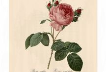 Les Roses from Pierre-Joseph Redoute