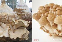 Cultivar cogumelos
