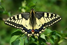 Farfalle / Almeno il 40% delle farfalle europee sta scomparendo. Servono azioni per salvarle. Eugea da il suo contributo a questa lotta per la biodiversità.