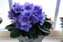 african violets, paavalit
