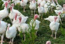 Ducks, Turkeys, and other Farm Fowl
