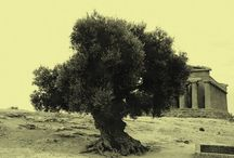My Olive Tree / Pretty Olive tree pictures