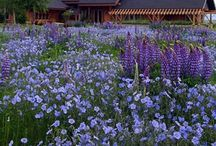 What's New for 2014 / New Wildflowers, Perennials & Bulbs for the 2014 growing season.  / by American Meadows