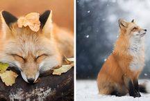 Foxes = best antidepressants ❤