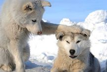 The Siberian Husky / Huskies are a very active, energetic, and resilient breed whose ancestors came from the extremely cold and harsh environment of the Siberian Arctic.