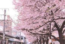 벚꽃/cherryblossom