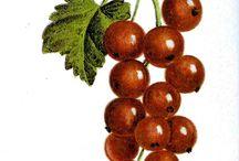 Botanical Images ... fruit
