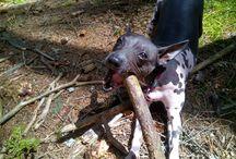 Americký bezsrstý teriér American Hairless Terrier / Americký bezsrstý teriér American Hairless Terrier