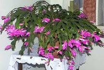 zygocactus cactus navideño