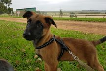 Orion / My mali puppy and our journey. #malinois #mali