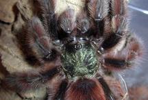 Madárpókok - Tarantulas / Tarantulas breeding and keeping. www.macilacispiders.hu