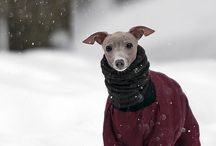 Italian Greyhound | Lovely Dog | Future Baby