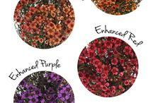 Shieldhall purples