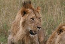 The kenya big cats safaris tours