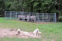 Farmgirl Fare - Daisy & Marta / Daisy is a Great Pyrenees and Marta Beast is a Great Pyrenees, Komondor, Anatolian Shepherd mix. These two awesome livestock guardian dogs keep the sheep (and us) safe from coyotes, monsters, and high flying jets that may want to land on the farm. :)