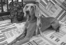 Iowa Weim Rescue  / Finding fabulous homes for abandoned, surrendered and stray Weimaraners.   / by Lana Schippers